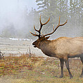 Bull Elk Bugles Loves In The Air by Ed  Riche