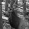 Bull Elk Bw by Ernie Echols