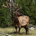 Bull Elk by David Salter