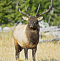 Bull Elk IIII by Gary Langley