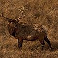 Bull Elk In Evening Light by J L Woody Wooden