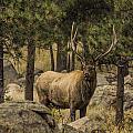 Bull Elk In Forest by Dan Blackburn