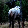 Bull Elk In Moonlight  by Lars Lentz