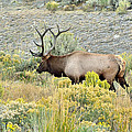 Bull Elk In Rut by Yeates Photography
