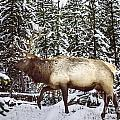Bull Elk In The Woods by Carolyn Fox