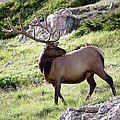 Bull Elk In Velvet by Jim Garrison