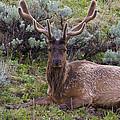 Bull Elk by Jack R Perry