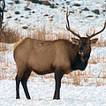Bull Elk  by Jeff Swan