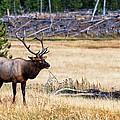 Bull Elk by Lars Lentz