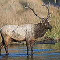 Bull Elk On The Madison River by Gary Langley