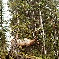 Bull Elk Stands Guard by D Scott Clark
