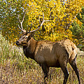 Bull Elk With Autumn Colors by James BO  Insogna