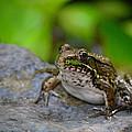 Bull Frog by Jennifer Krantz