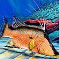 Bull Hogfish by Steve Ozment