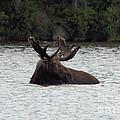 Bull Moose - 3587 by Joseph Marquis