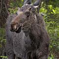 Bull Moose   #5654 by J L Woody Wooden
