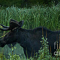 Bull Moose   #5701 by J L Woody Wooden
