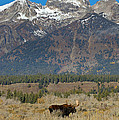 Bull Moose And Mountains by Lee Kirchhevel