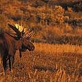 Bull Moose At Sunset by Tim Grams
