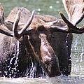 Bull Moose Feeding by Dave Knoll