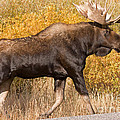 Bull Moose Grand Teton National Park by Fred Stearns