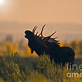 Bull Moose Grunting by Anthony Mercieca