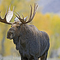 Bull Moose In Autumn by Gary Langley