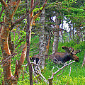 Bull Moose In Cape Breton Highlands Np-ns by Ruth Hager