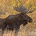 Bull Moose In Grand Teton National Park by Fred Stearns
