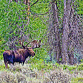 Bull Moose In Gros Ventre Campground In Grand Tetons National Park-wyoming by Ruth Hager