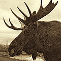 Bull Moose In Sepia by Phyllis Taylor