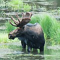 Bull Moose In The Wild by Feva  Fotos