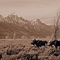 Bull Moose by Jim Moser