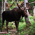 Bull Moose by Ken Stampfer