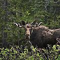 Bull Moose by Priscilla Burgers