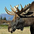 Bull Moose Profile by Clint Pickarsky