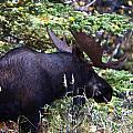 Bull Moose by Richard Jack-James
