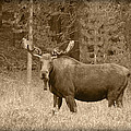 Bull Moose by Shane Bechler