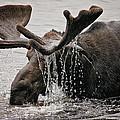 Bull Moose by Sharon Fiedler