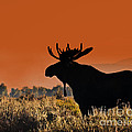 Bull Moose Sunset by Timothy Flanigan and Debbie Flanigan Nature Exposure