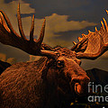 Bull Moose by Tommy Anderson