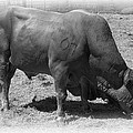 Bull Number 07 by Daniel Hagerman