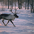 Bull Reindeer In  Siberia by Bryan and Cherry Alexander