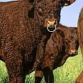 Bull Salers. French Race by Bernard Jaubert