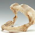 Bull Shark Jaws by Ucl, Grant Museum Of Zoology