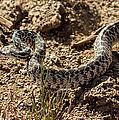 Bull Snake by Robert Bales