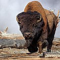Bull Strut by James Anderson