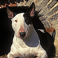 Bull Terrier Dog by Jean-Michel Labat