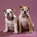Bulldog Puppies by John Daniels