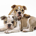 Bulldog Puppies, One On Top Of The Other by John Daniels